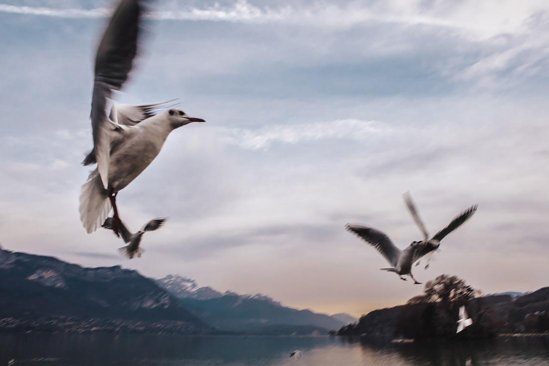 Annecy - scorci - gabbiani in volo