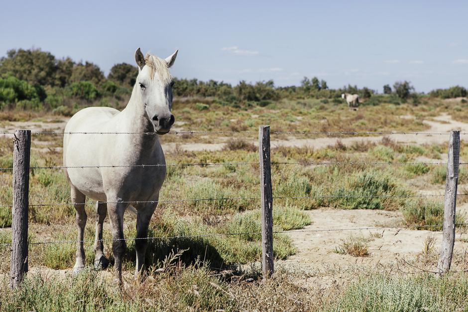 Etang du Vaccarès, Camargue, cavallo