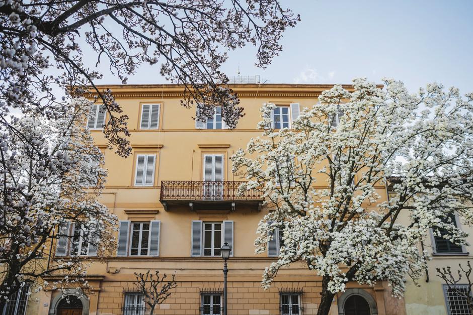 Lucca, magnolie in fiore, corso garibaldi